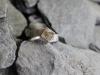 thumbs ring zilver gele topaas Ringen