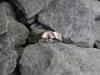 thumbs ring zilver rozesaffier Ringen