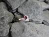 thumbs ring zilver rozetoermalijn 2 Ringen